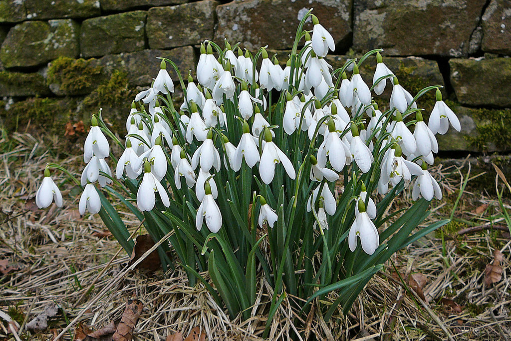 Snowdrops in Lothersdale Churchyard