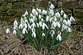 Snowdrops in Lothersdale Churchyard.jpg