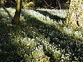 Snowdrops in the woods near St John's House - geograph.org.uk - 432092.jpg