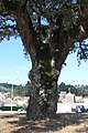 Sobreiro do Largo da Igreja - Parada de Todeia, Paredes - 11.jpg