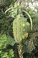 Socratea exorrhiza (11033831645).jpg