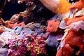 Soft Coral (23232544673).jpg