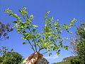 Solanum americanum plant1 (16002607420).jpg