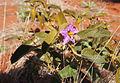 Solanum centrale blossom.jpg
