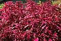 Solenostemon scutellarioides Pink Chaos 1zz.jpg