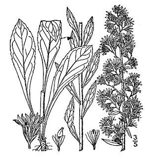<i>Solidago puberula</i> species of plant