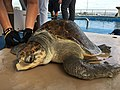 Solstice, an olive ridley gets prepped for her GPS tag (37014429951).jpg