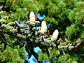 Some coniferous tree.JPG
