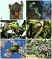 Some of the species of Psittaciformes that occur in the wild in Puerto Rico, and Hurricane Maria-related mortality.jpg