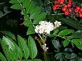 Sorbus americana, Whitefish Island 3.JPG