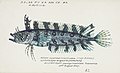 Southern Pacific fishes illustrations by F.E. Clarke 21.jpg