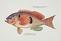Southern Pacific fishes illustrations by F.E. Clarke 9.jpg
