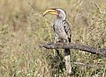 Southern Yellow-billed Hornbill, Tockus leucomelas at Mapungubwe National Park, Limpopo, South Africa (18117631909).jpg