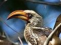 Southern yellow billed hornbill2 - Flickr - Ragnhild & Neil Crawford.jpg