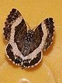 Spargania luctuata - White-banded carpet - Ларенция кипрейная (40959180741).jpg