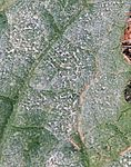 Sphaerotheca fusca on Cucurbita pepo backside leaf closeup.jpg