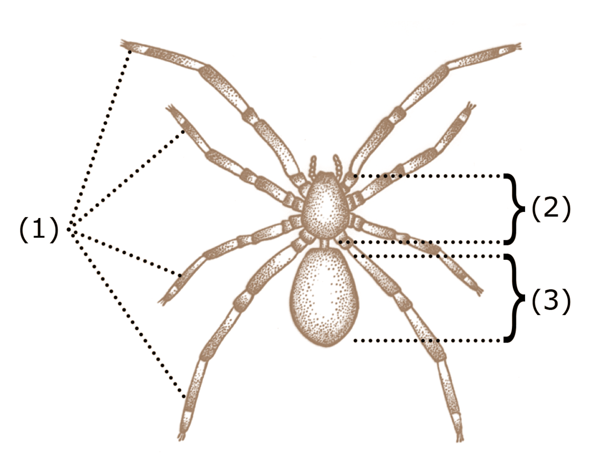 Spider anatomy - Wikipedia