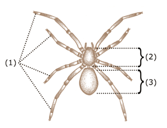 Spider anatomy - Basic characteristics of arachnids include four pairs of legs (1) and a body divided into two segments: the cephalothorax (2) and the abdomen (3).