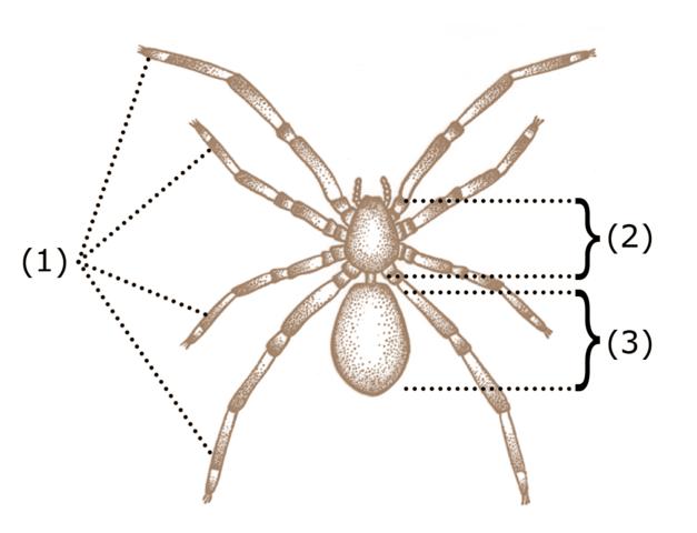 Vonkajšia stavba tela pavúkov