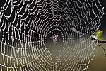 Spider web with dew drops04.jpg