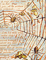 Spiders - Europe, copy K 1821 plate 15, Fitzwilliam Museum.jpg