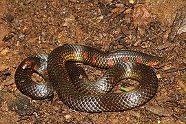 Spotted earth snake Uropeltis maculata.jpg