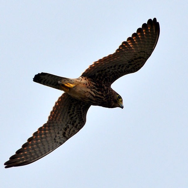 File:Spotted kestrel flying (16862666012).jpg
