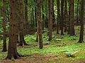 Spruce forest at Holma by Gullmarn 3.jpg
