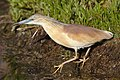 Squacco Heron, Ardeola ralloides at Marievale Nature Reserve, Gauteng, South Africa. (44482196174).jpg