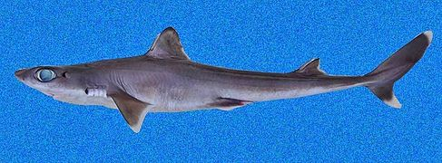 Cuban dogfish - Wikipedia