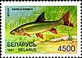 Stamp of Belarus - 1997 - Colnect 278755 - Common Barbel Barbus barbus.jpeg