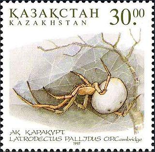 <i>Latrodectus pallidus</i> species of arachnid