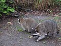 Stanley Park - Raccoon (4453389256).jpg