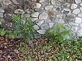 Starr-020617-0016-Filicium decipiens-seedlings-Kihei-Maui (24523708426).jpg