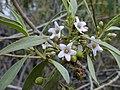 Starr-030202-0113-Myoporum sandwicense-flowers-Wailea 670-Maui (23991768244).jpg