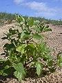 Starr-040125-0020-Chenopodium murale-habit-Kanaha Beach-Maui (24579541342).jpg