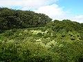 Starr-050107-2903-Aleurites moluccana-habit-Hana Hwy-Maui (24107189043).jpg