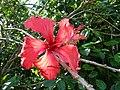 Starr-061109-1507-Hibiscus rosa sinensis-Psyche flower-Kokomo Rd Haiku-Maui (24240651534).jpg