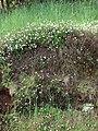 Starr-090513-7546-Erigeron karvinskianus-flowering habit-Polipoli-Maui (24836744022).jpg
