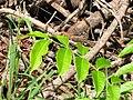 Starr-090714-2836-Swietenia macrophylla-leaves-Honokahau Valley-Maui (24941925416).jpg