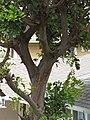 Starr-090806-3964-Cupaniopsis anacardioides-bark-Wailuku-Maui (24344821583).jpg