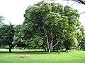 Starr-091104-0679-Aleurites moluccana-habit-Kahanu Gardens NTBG Kaeleku Hana-Maui (24894147781).jpg