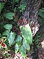 Starr-110330-3906-Philodendron sp-habit-Garden of Eden Keanae-Maui (24785313160).jpg
