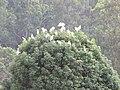 Starr-110503-5497-Cinnamomum camphora-habit with cattle egret roosting-Ulupalakua-Maui (24799257050).jpg