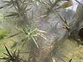 Starr-110628-6381-Ulex europaeus-biocontrol mite webbing-Piiholo-Maui (25071159116).jpg