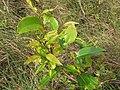 Starr-110924-9551-Syzygium cumini-leaves-Makamakaole-Maui (24488230283).jpg