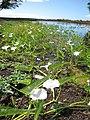 Starr-121029-0415-Ipomoea aquatica-flowering habit-Ukumehame-Maui (25194763245).jpg