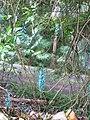 Starr-130312-1712-Strongylodon macrobotrys-flowers-Pali o Waipio Huelo-Maui (24911181000).jpg