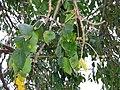 Starr-180406-0733-Bursera simaruba-leaves fruit-DOFAW Arboretum Hilo-Hawaii (40655928174).jpg