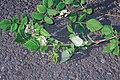Starr-990119-3228-Rubus niveus-form a flowers and fruit-Kula-Maui (24157618069).jpg